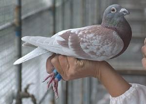 第四届 海霸王詹森种鸽网上竞拍活动 第八组