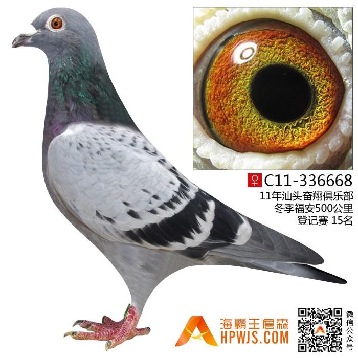 98年轻红狐孙c15-263446 - 海霸王詹森鸽展售 - 海