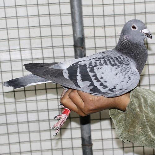 动物 鸽 鸽子 鸟 鸟类 500_500